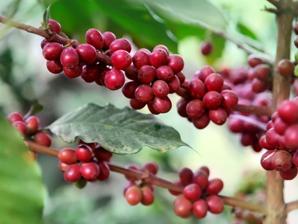 ripe-coffee-berries